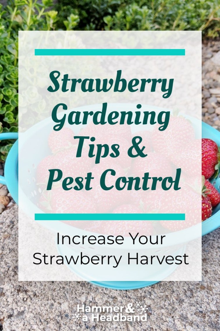 Strawberry gardening tips and pest control