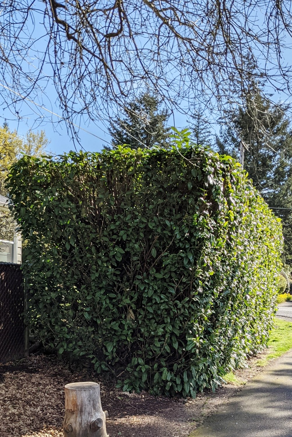 Dense laurel privacy hedge