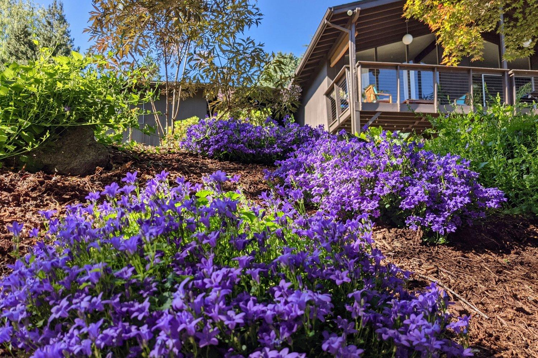 Campanula bellflowers growing on slope in shade garden