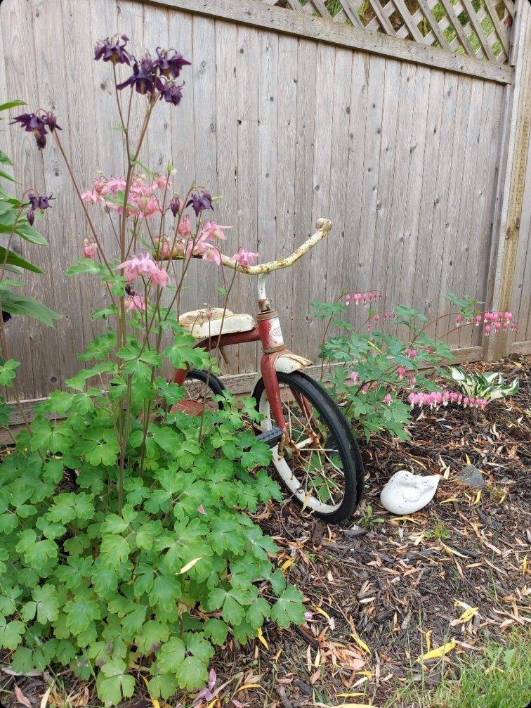Columbine flowers in memorial garden