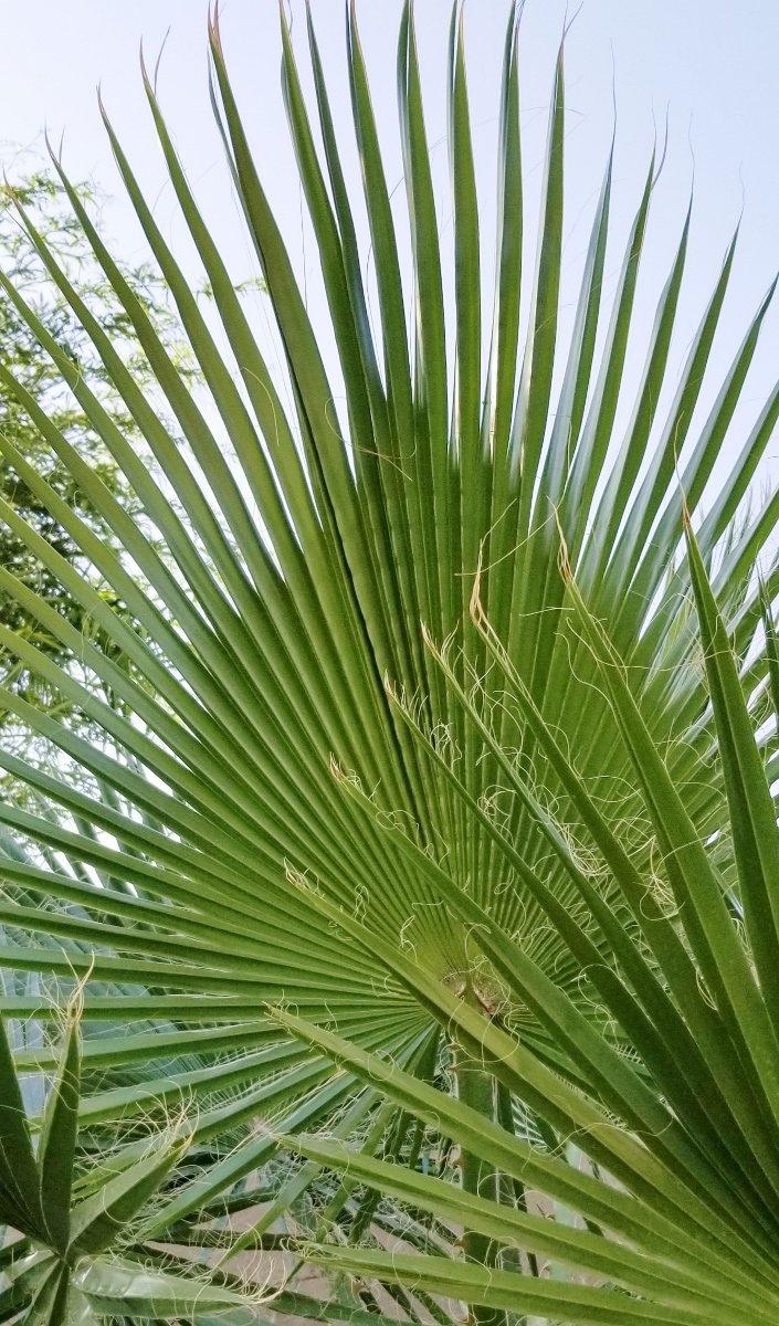 Fan palm growing in backyard garden