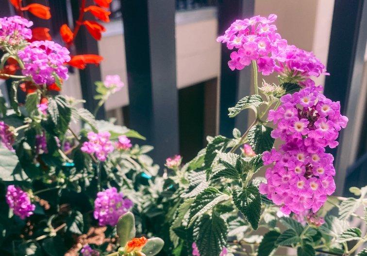Pink flowers in balcony flower garden