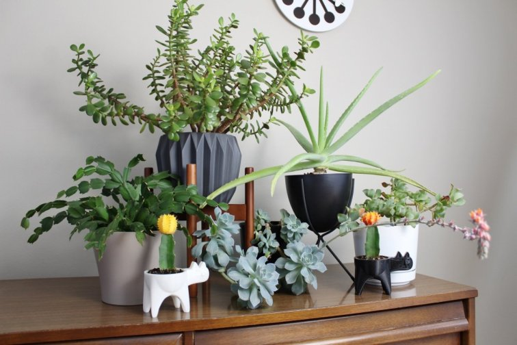Indoor succulent garden with jade, aloe vera, Christmas cactus and other succulent plants