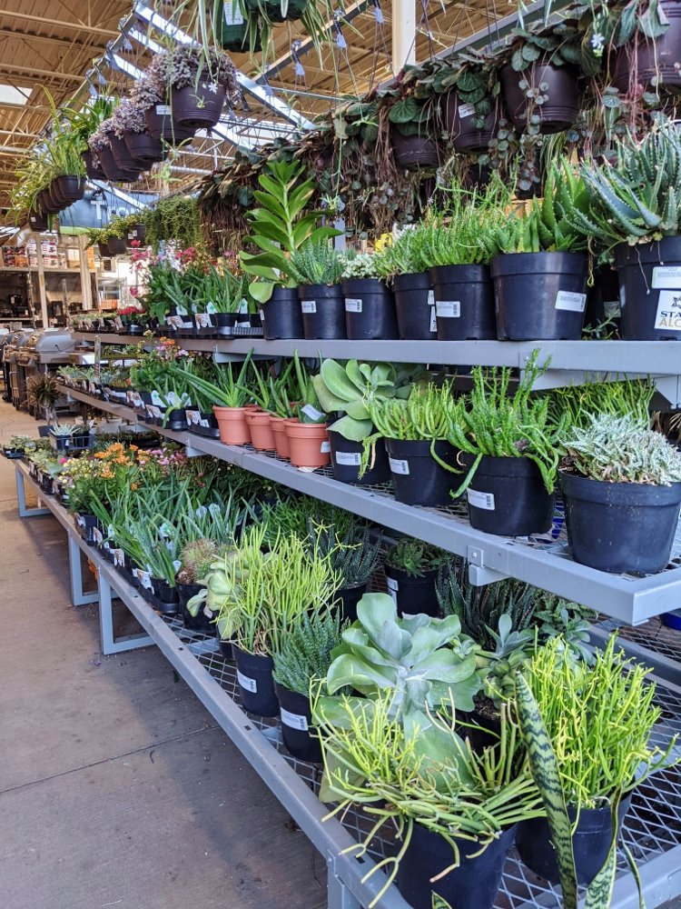 Succulents for sale at Home Depot