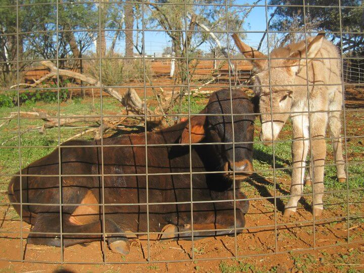 My pet calf, Schnitzel and a baby donkey in a paddock
