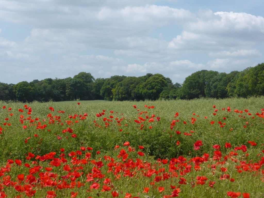 Poppy fields Cheriton