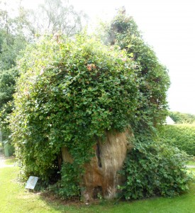 Remains of the great yew at Selborne