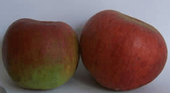 Hampshire Apples the Hambledon Deux-ans