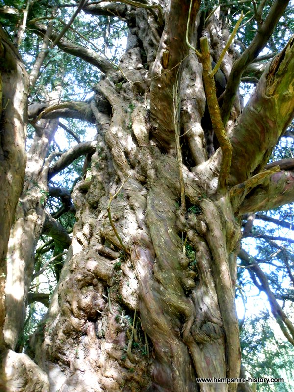 Yew Tree Newton Valance Church Yard