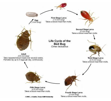 Bed Bugs | www.hampshire.edu