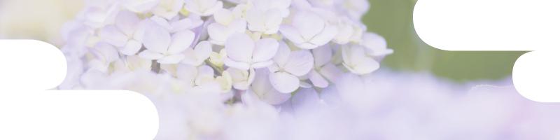 花個紋_6月 紫陽花