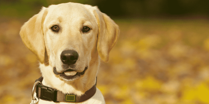 image of labrador puppy in post about how one family coped and found closeness when their dog died