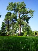 Baum im Döbelns-Park