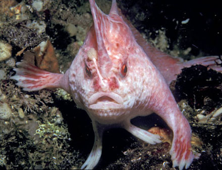 The pink handfish - a.k.a. brachionichthys