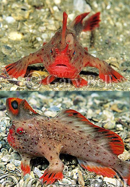 The red handfish - a.k.a. brachionichthys politus!