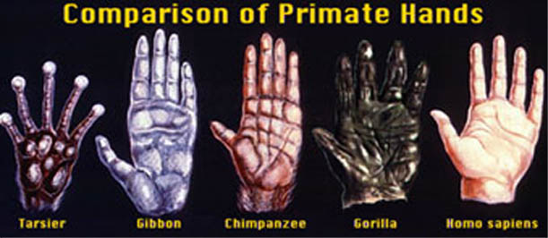 Comparison of primate hands: only the human hand is featured with a long opposable thumb!