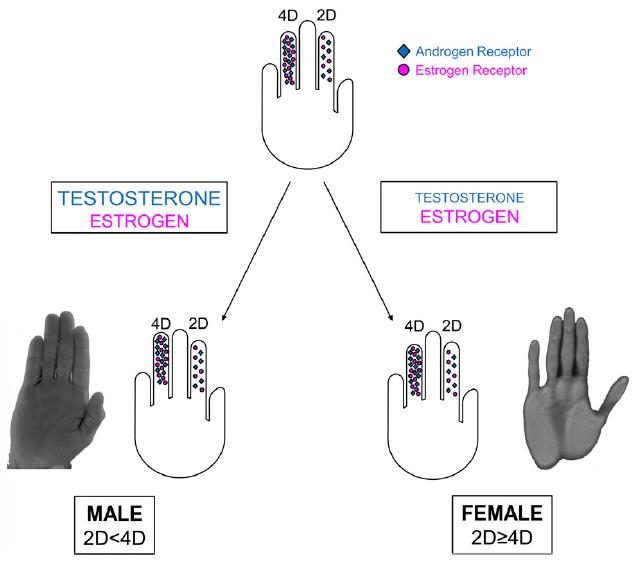 penis på østrogen