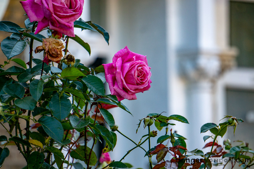 Rose from the front yard area of the house where Bolan Grew Up