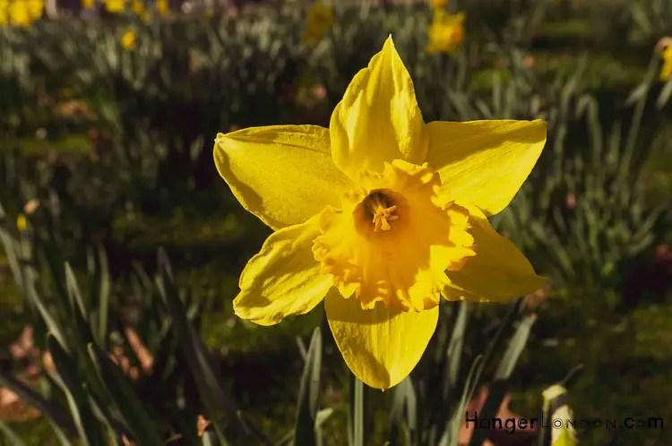 Daffodil St Davids Day