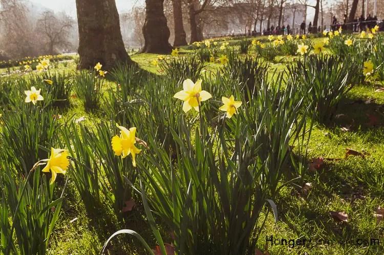 London Parks Daffodil