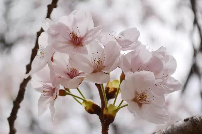 慶州(キョンジュ 경주)の桜