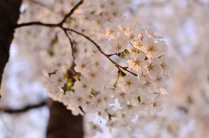 桜まつりをチェック