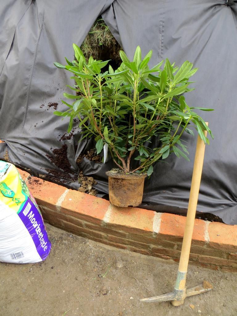 Einpflanzen der Rhododendren