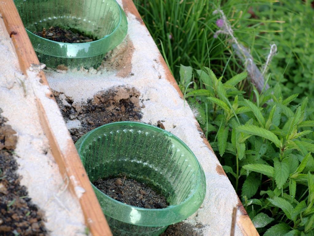 Bei stark gefährdeten Pflanzen kann man auch zwischen den Pflanzen streuen