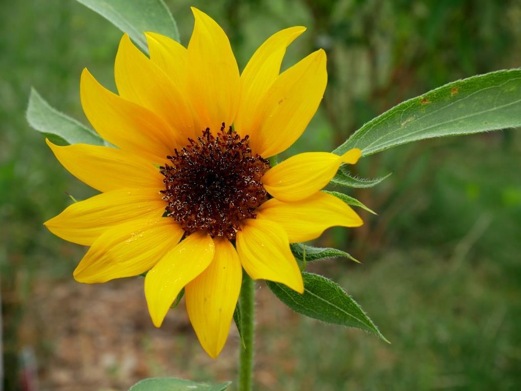 Zwerg-Sonnenblume