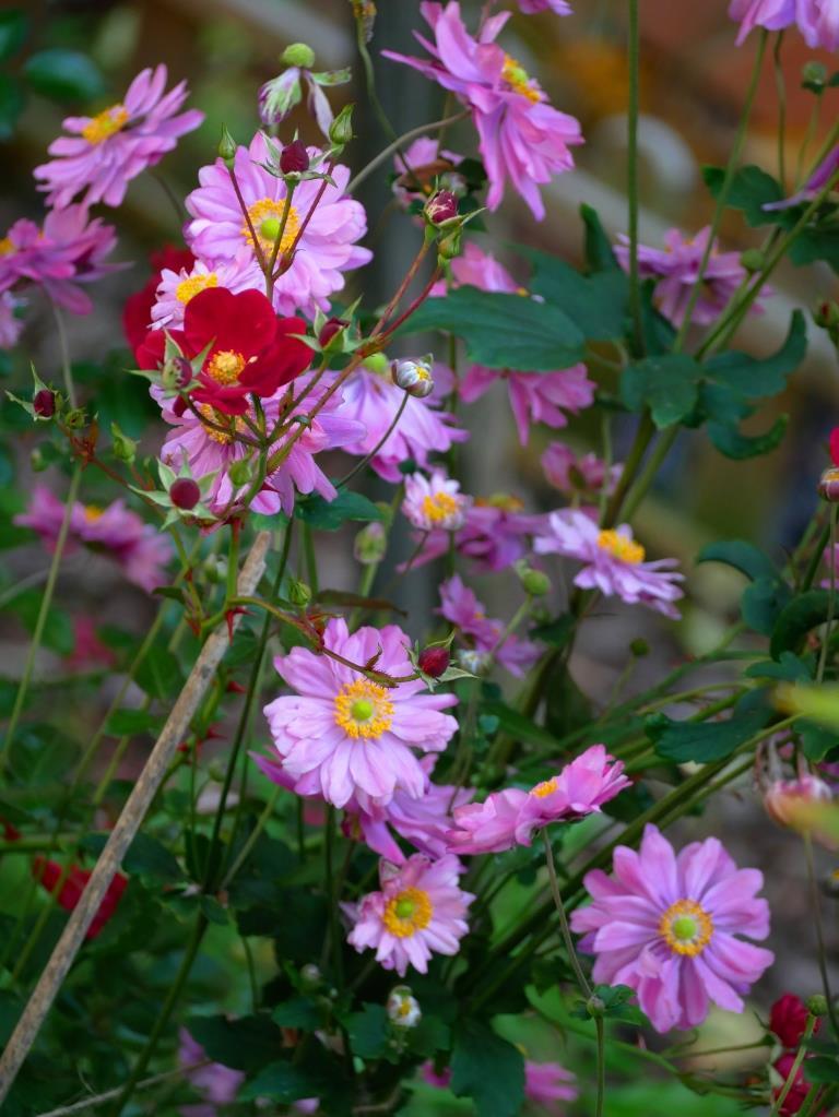 Herbstanemonen mit Alcantara Rose