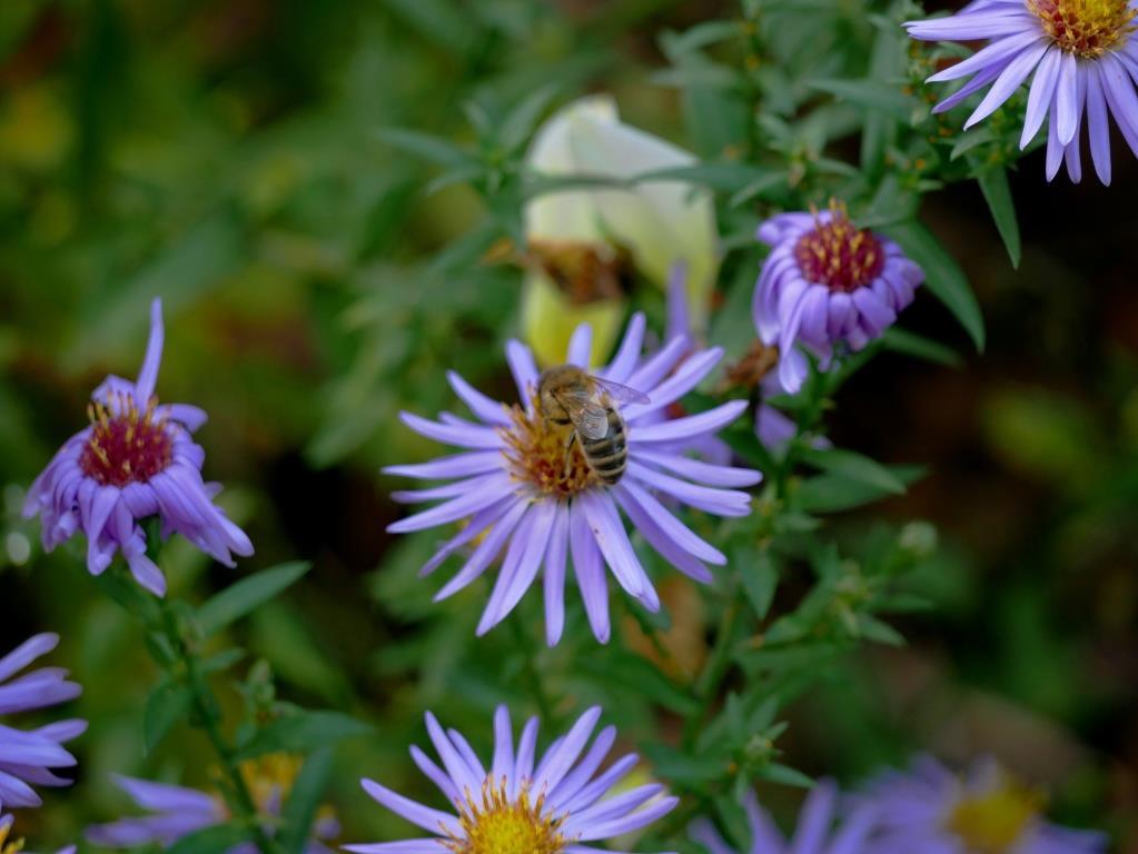 Die Bienen freuen sich über die Astern