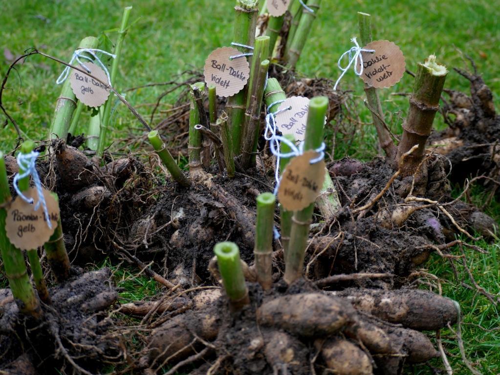 Dahlienknollen werden vor dem Winter ausgegraben, und evtl beschriftet