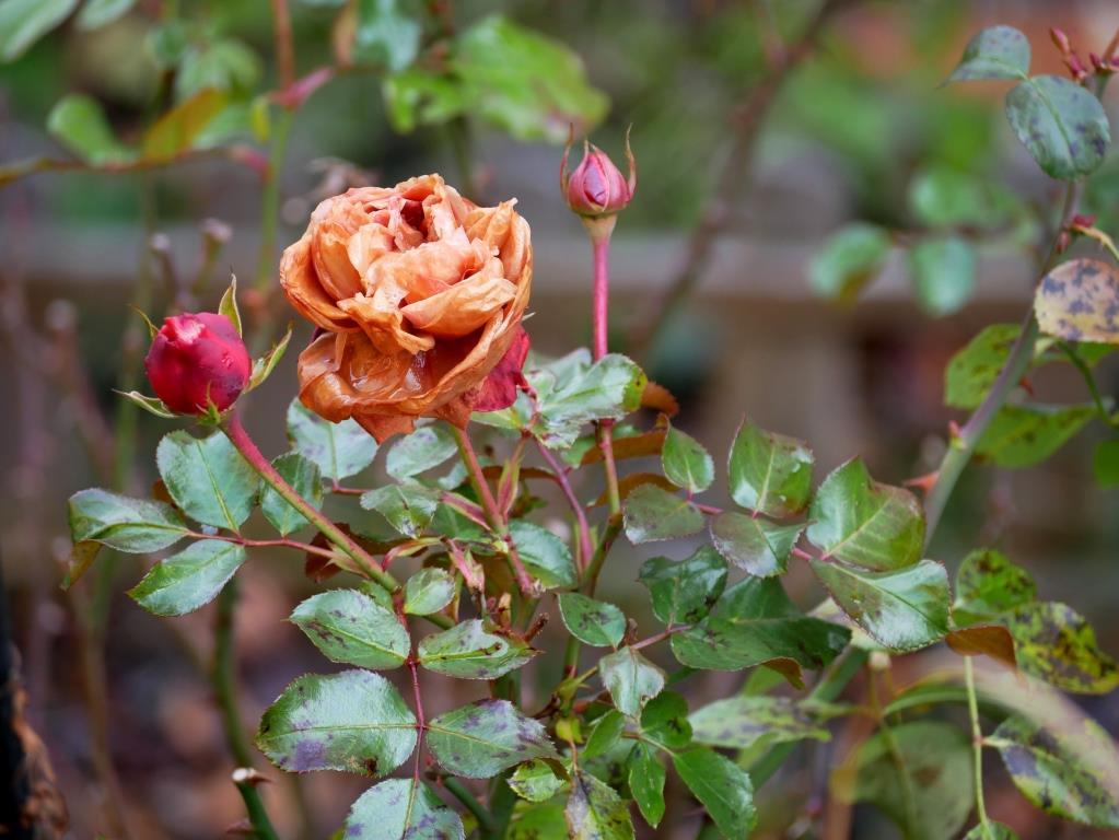 Gefrorene Rosenblüte im Dezember