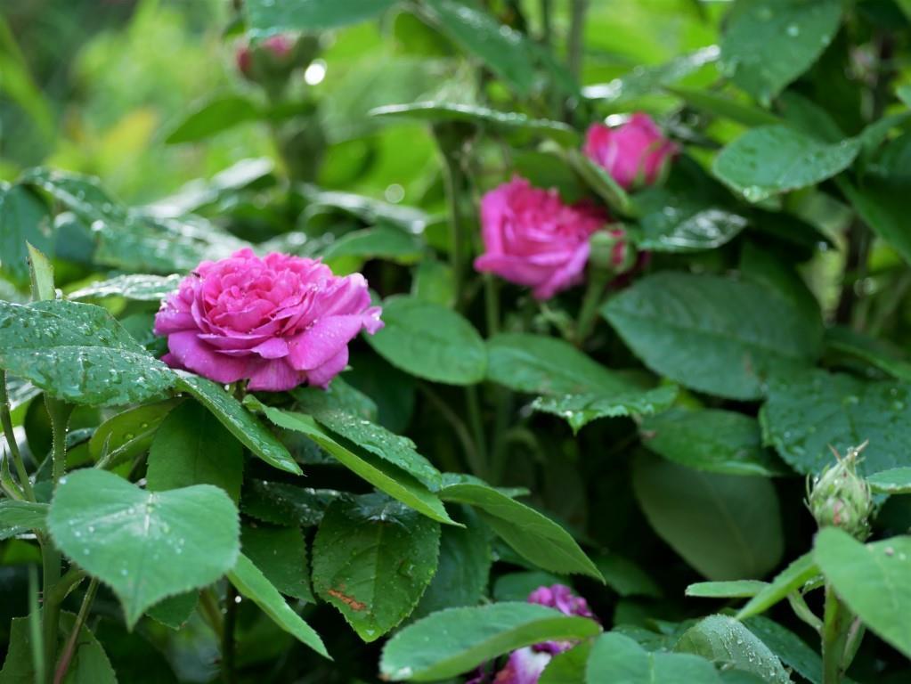 Zum Genießergarten gehört eine Damaszenerrose wie die Rose de Resht. Sie verzaubert jeden mit ihrem Duft.