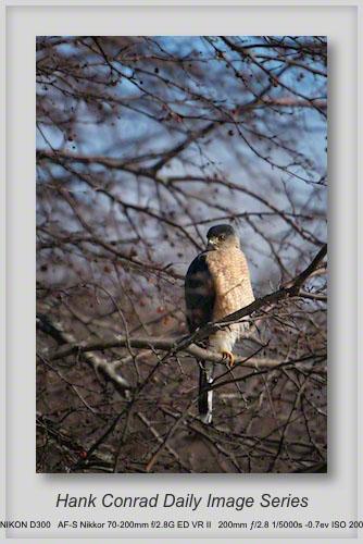 2/01/2013 Redtailed Hawk