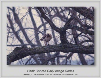 3/15/2013 Red-tailed Hawk