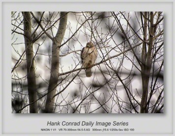 3/20/2013 Red-tailed Hawk