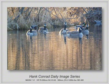 2/28/2013 Canada Geese