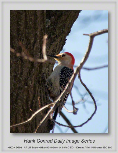 4/03/2013 Red-Bellied Woodpecker