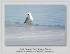 4/05/2013 Seagull on Ice