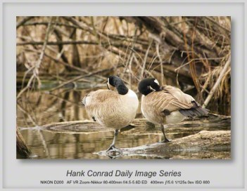 4/09/2013 Canada Geese