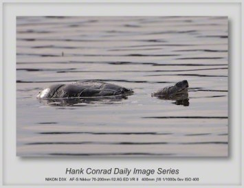 4/12/2013 Common Snapping Turtle