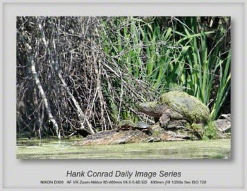 4/19/2013 Snapping Turtle
