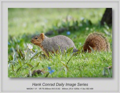 4/29/2013 Grey Squirrel