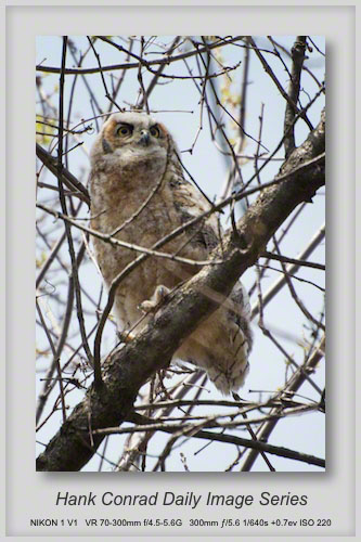 4/30/2013 Juvenile Great Horned Owl