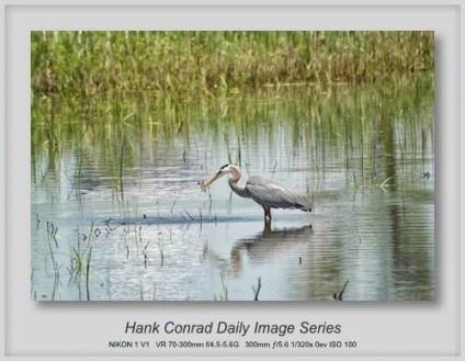 5/17/2013 Great Blue Heron Fishing