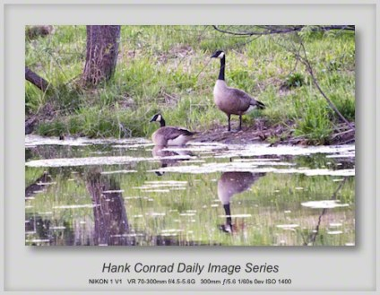 5/19/2013 Canada Geese