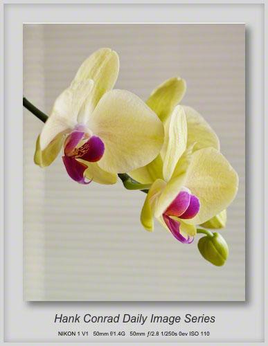 5/20/2013 Phalaenopsis Orchid