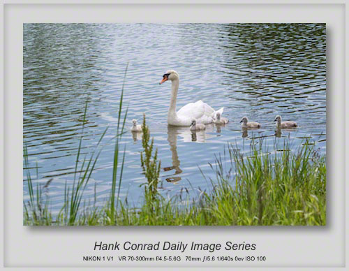 6/09/2013 Mute Swans