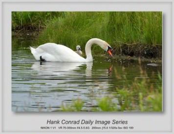 6/12/2013 Swans Again